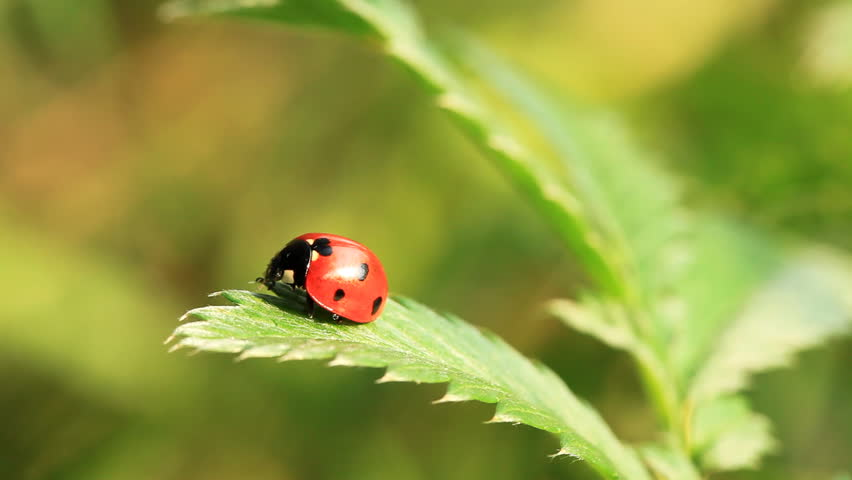 Ladybug on green fresh leaf. Close-up