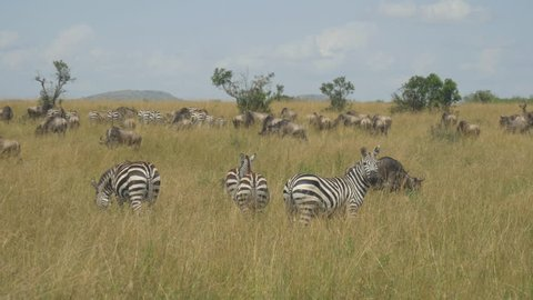 Zebras and wildebeest in African safari Maasai Mara