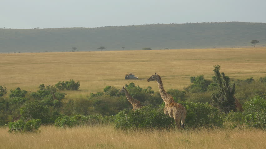 AERIAL: Tourist jeeps driving pass giraffes in African safari