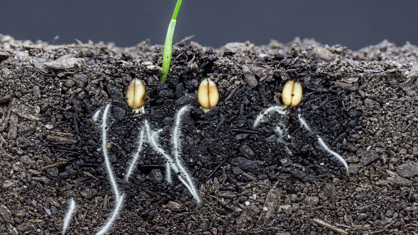 HD macro time lapse video of 3 grain seeds growing  and blossoming from the ground in soil, underground and overground view/3 grains growing from soil timelapse