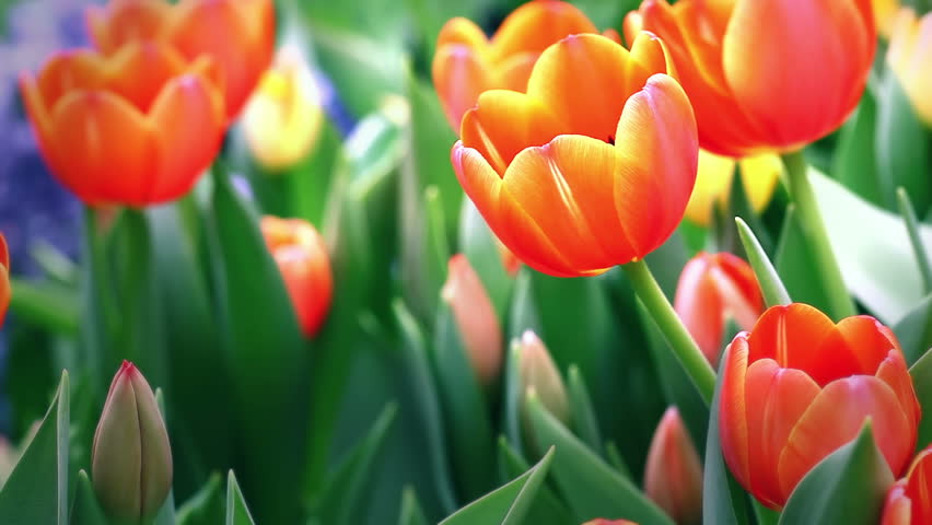 HD: Close up orange tulip flowers, 1920x1080 - HD stock footage clip