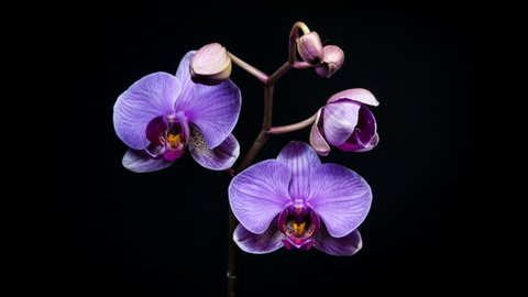 Timelapse of orchid flower blooming on black background