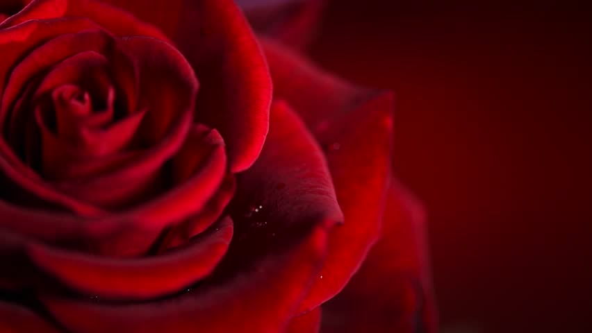 Red Rose Flower close up background. Beautiful Dark Red Rose closeup. Symbol of Love. Valentine card design. HD 1080p