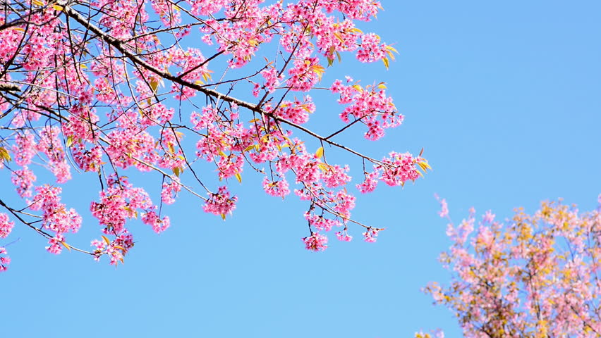 7044976a9 Cherry Blossom or Sakura with Stock Footage Video (100% Royalty-free)  8627206   Shutterstock