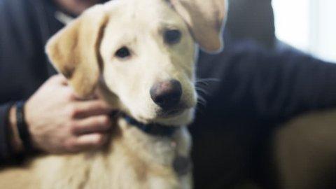 Petting a cute yellow puppy dog