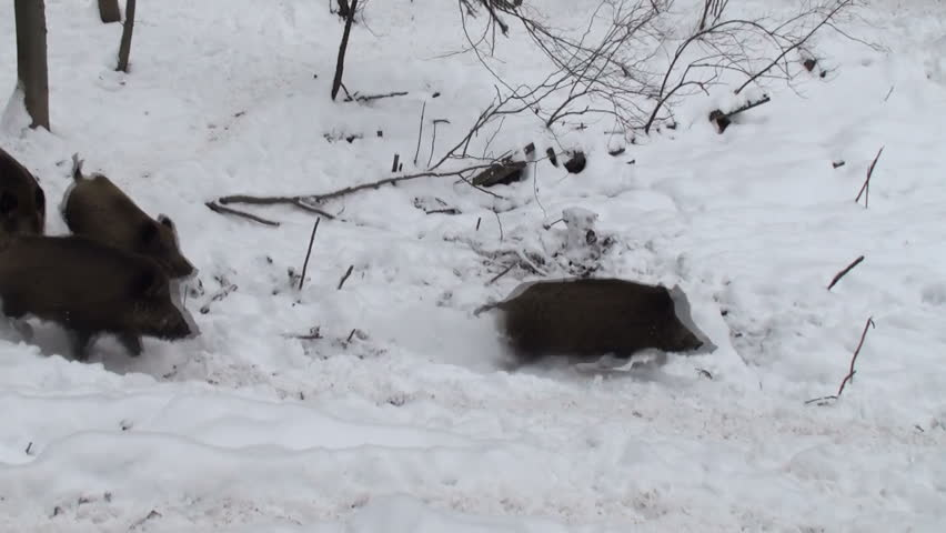 herd of wild boar running through snow