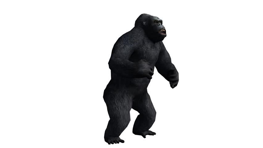 Chimp & Chimpanzee pounding chest show strength,Endangered wild monkey animal.anthropomorphism. cg_02405 #8747026