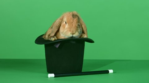 Small brown lop-eared domestic rabbit resting in a black top hat next to a magic wand, in front of green screen background