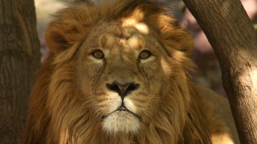 8k Animal Wallpaper Download: Attention In Eyes Of Lion Close Up On Tree Shadow