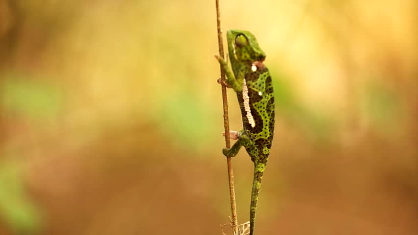 beautiful green chameleon crawling on a branch in the jungles of Africa