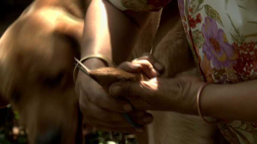 Tight shot of a woman trimming tail of a labrador dog in India | Shutterstock HD Video #8828398