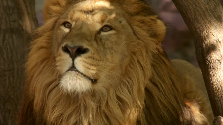 Stare of adorable lion with sun specks on face on tree trunk background close up. King of beasts, biggest cat of world, horoscope and zodiac symbol. Amazing beauty of wildlife in excellent HD clip. #8829976