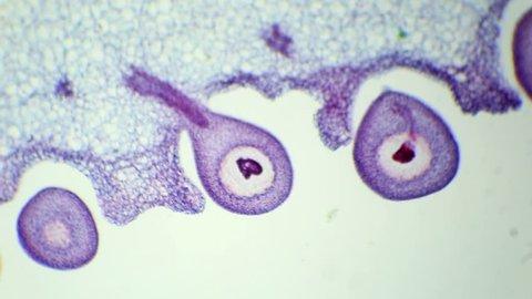 Slice of tomato fruits under the microscope (Tomato fruit Sec.) (Solanum lycopersicum L.), Full HD