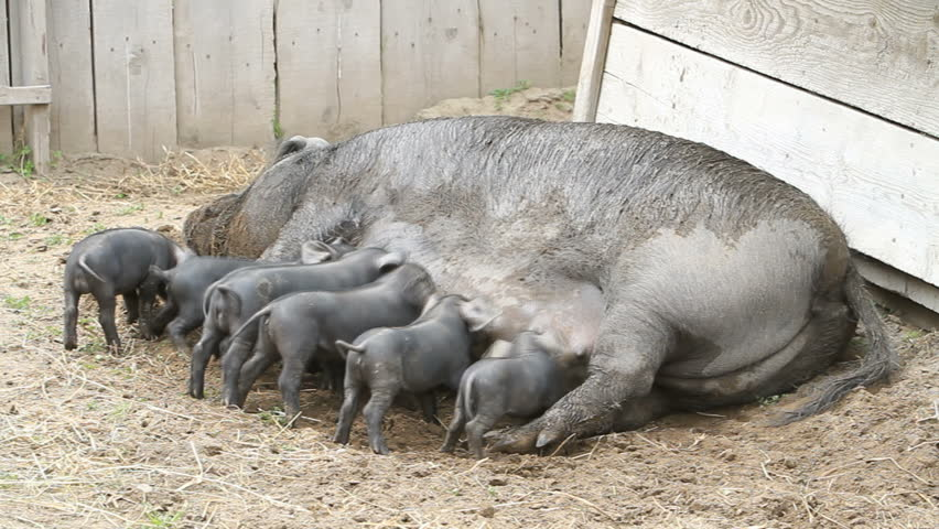 Young baby pigs running and eating on mother sow as she lays on ground, fast motion time-lapse. The piglets are fighting over her nipples for nourishment and food. Very large female pig sow. Farm