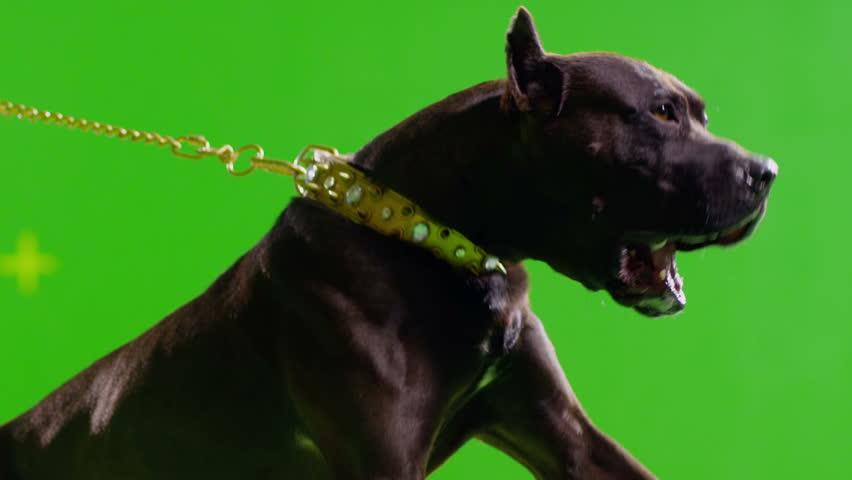 3K Real black pit bull dog barking. Green screen chroma key. Slow Motion.  Shot on RED EPIC Cinema Camera.