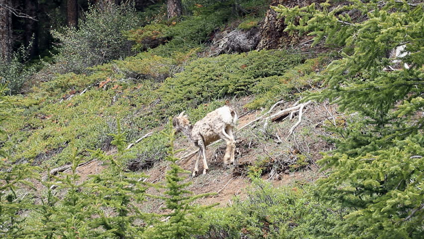 Female Bighorn ewe sheep and young lambs walk high on a rocky mountain cliff. Calmly walking across forest clearing. Shaggy hair from early summer shedding.