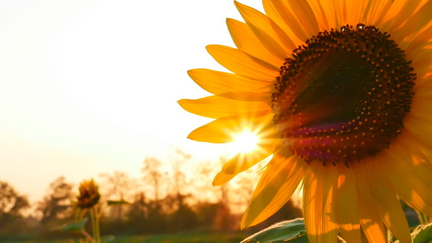 Sunflower field during sunset, Tilt up camera