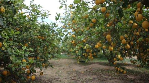 Lemons growing on tree in lemon orchard, dolly shot