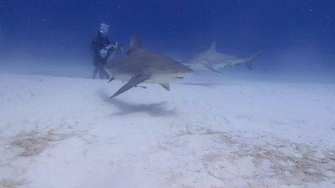 Bull shark approach diver