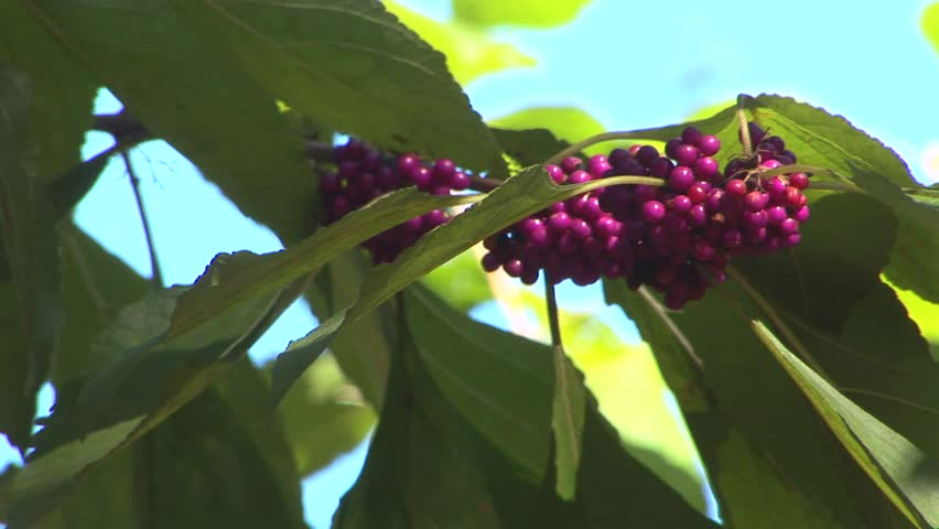 Header of American Beautyberry