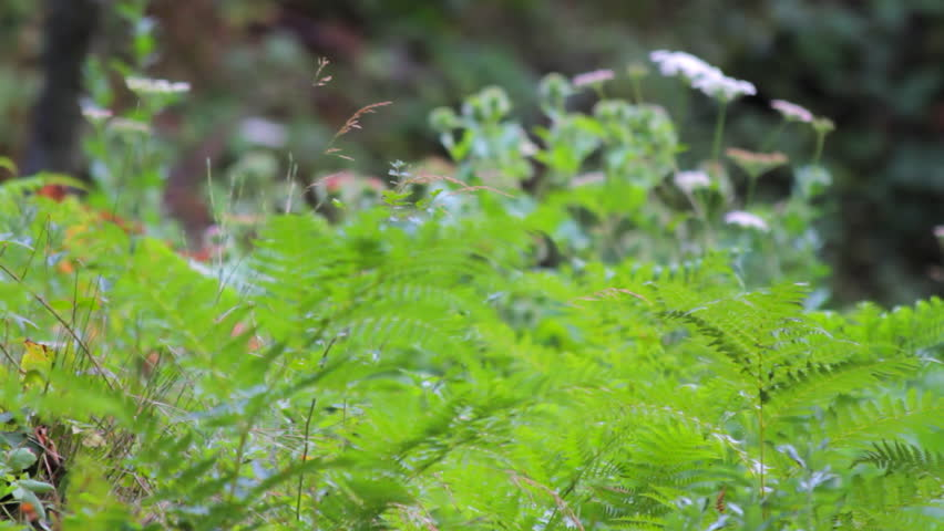 Forest vegetation (fern and white yarrow in the background)