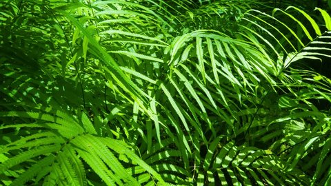 UHD video - Camera tracking across densely packed foliage of ferns in this tropical. Thai jungle. Delicately arrayed leaves splay outwards to capture the sunlight.