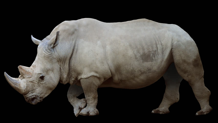 Isolated rhino cyclical walking. Can be used as a silhouette.