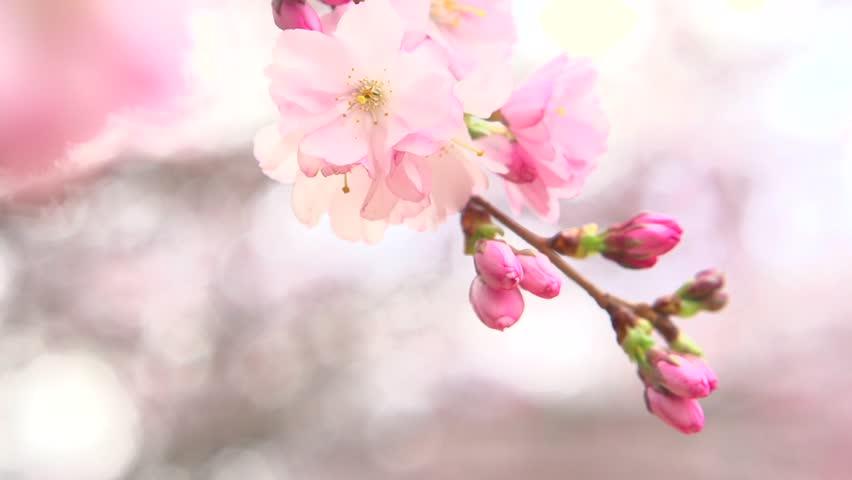 Sakura Spring Flowers Spring Blossom Stockvideos Filmmaterial