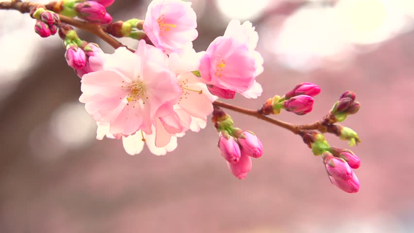 Sakura Spring Flowers Spring Blossom Video De Stock Totalmente