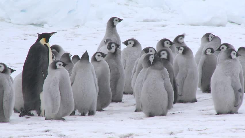 Emperor penguin (Aptenodytes forsteri), chicks at creche, adults meet and display, Cape Washington, Antarctica