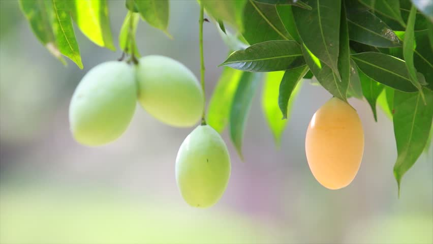 Mango Tree Stock Footage Video
