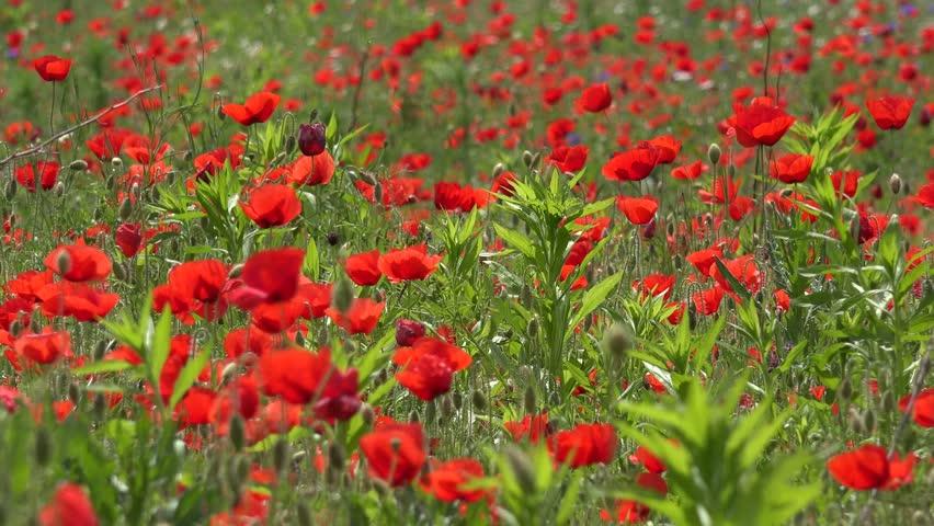 4k Wheat Harvest In Poppy Flower Field At Sunset Background Red Flowers Rye Barley