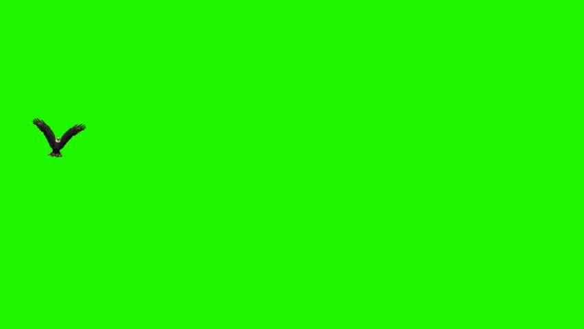 eagle flies circles 2 - green screen