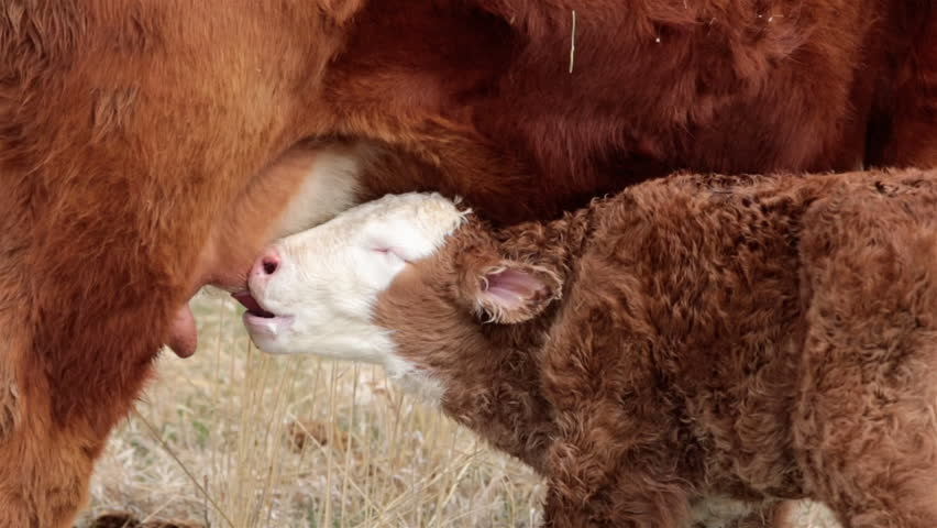 New born calf first suck on mother cow. Small farm or ranch operated by a family. Hungry and wanting to drink milk from udder. Livestock ranching. Cow gives birth to one calf each spring. | Shutterstock HD Video #9341768