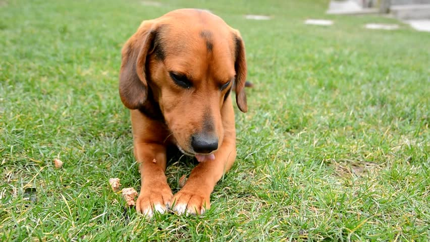 Must see Toy Beagle Adorable Dog - 1  Pic_607450  .jpg