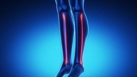 FIBULA bone skeleton x-ray scan in blue