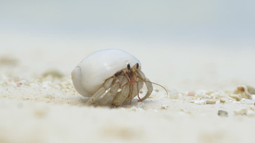 Close Up Hermit Crab On Stock Footage Video 100 Royalty Free 9431156 Shutterstock