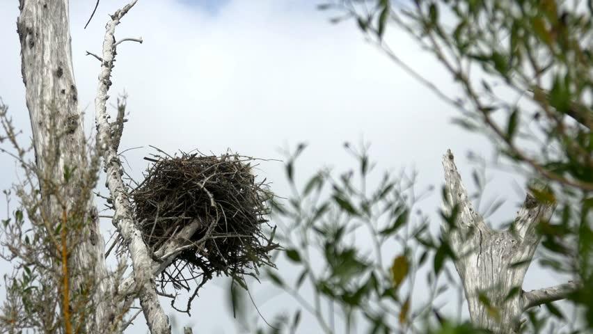Osprey nest tree