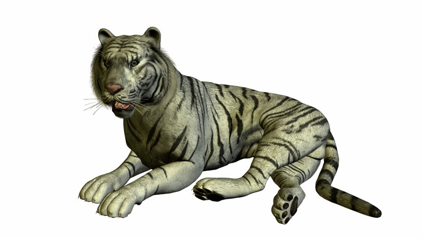 White Tiger Laying Down On Stock Footage Video (100% Royalty-free) 947326    Shutterstock