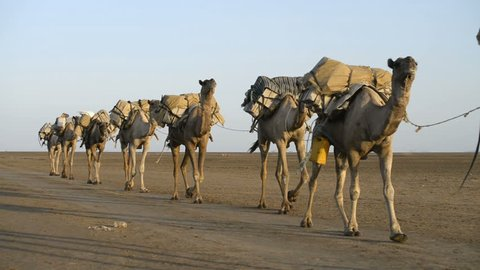 Camel caravans carrying salt through the desert in the Danakil Depression