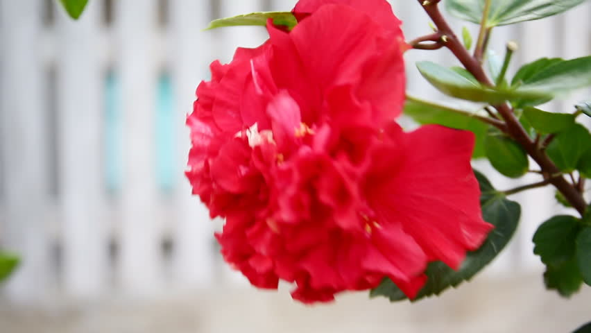 Red Hibiscus Flower Moving In Stock Footage Video 100 Royalty Free