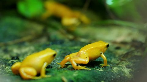 Two golden-yellow small frogs on a rock with green leaves. The golden poison frog also known as the golden frog golden poison arrow frog or golden dart frog is a poison dart frog