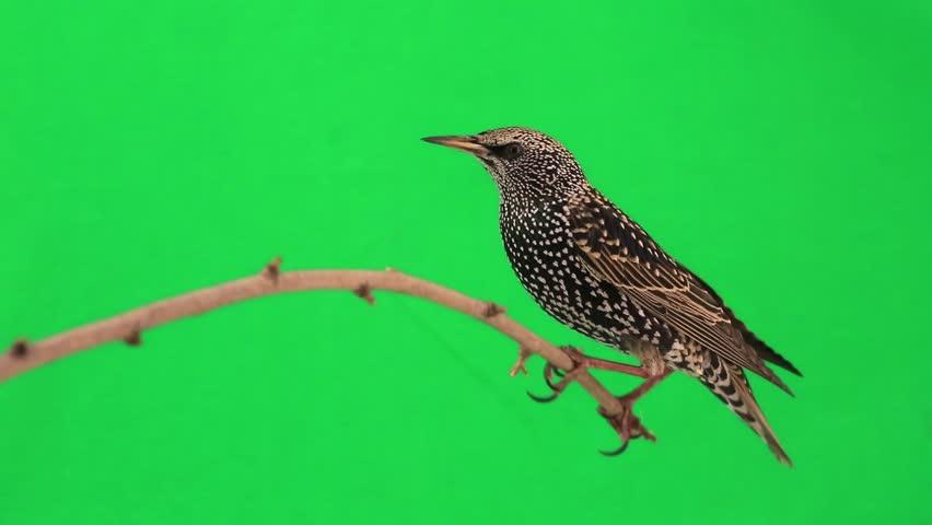 Starling on  green screen | Shutterstock HD Video #9543860