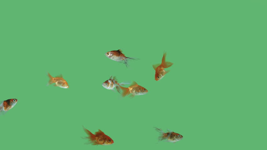 Lots of gold fishes swimming carefree on green screen