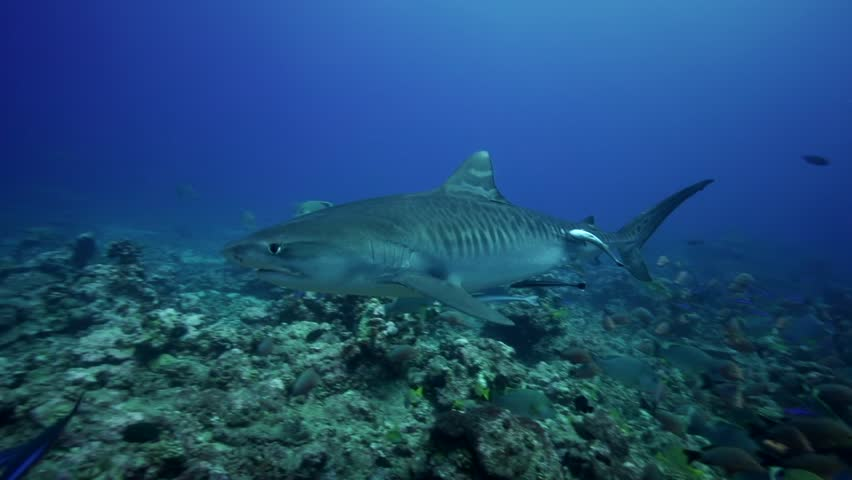 Tiger shark getting close to the camera | Shutterstock HD Video #9555566