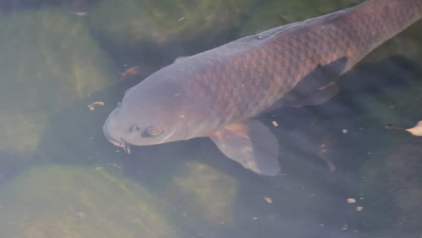 Large carp swims slowly near the surface of the water in Japan. Camera pans to the right. | Shutterstock HD Video #9625526