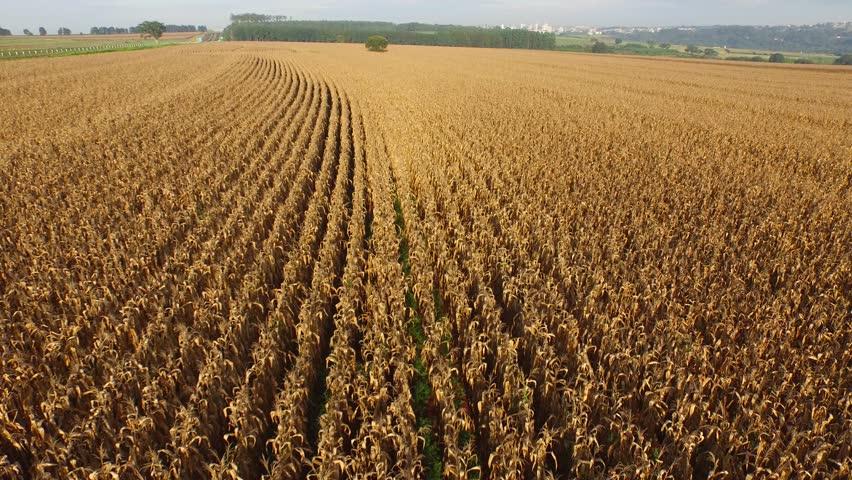 Cornfield aerial view in sunny day in Brazil