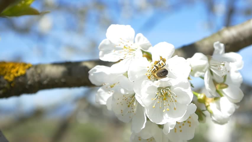 Slow Motion Bees Flying Collecting Pollen From Flowers Cherry Tree Blossom Pollinating Fruit Trees Making Honey