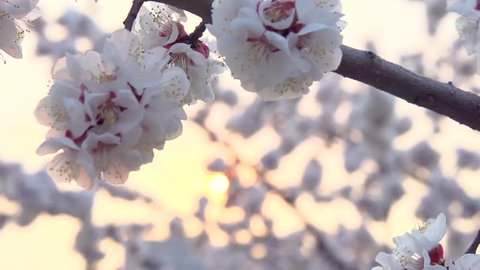 Spring blossom over sunset sky. Beautiful nature scene with blooming sakura tree and sun flare. Spring flowers. Beautiful Orchard. Abstract blurred background. Springtime. HD 1080p, slow motion