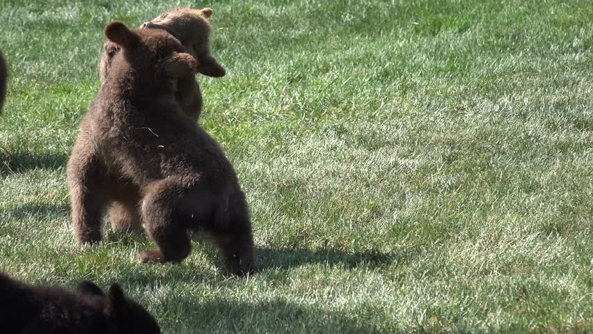 Black Bear Cub Young Immature Several Playing Summer Wrestling Fighting Growth Dominance Animals | Shutterstock HD Video #9660176